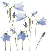 Blue campanula flowers on white — Stock Vector