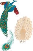 Två påfåglar och fjäder — Stockvektor