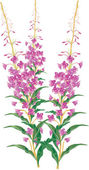 Ilustração de flores rosa selvagem isolada — Vetorial Stock