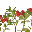Stock Photo: Cowberries branches on white