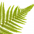 Green single fern branch - Stock Photo