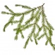 Green fir branch on white — Stock Photo #6414923