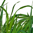 Royalty-Free Stock Photo: Green grass on white