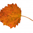 Autumn asp leaf on white — Stock Photo