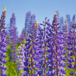 Violet lupins — Stock Photo #6415118