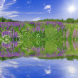 Lupine flowers with reflection — Stock Photo