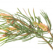 Isolated pine branch — Stock Photo