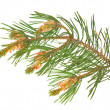 Isolated green pine branch — Stock Photo