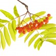 Red rowan branch - Stock Photo
