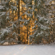 Sunset in snow fir forest — Foto Stock