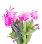 Pink cactus flowers on white — Stock Photo