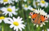 Butterfly on chamomile flower — ストック写真