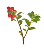 Cowberries on branch — Stock Photo