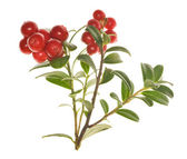 Two branches of cowberries — Stock Photo