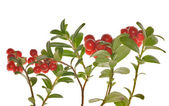 Cowberries branches on white — Stock Photo