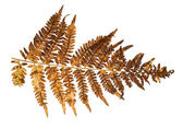 Old fern branch on white — Stock Photo