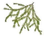 Green fir branch on white — Stock Photo