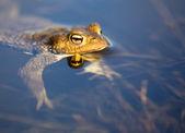 カエルの池に浮かぶ — ストック写真