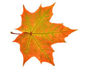 Red and green maple leaf — Stock Photo