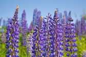 Violetten lupinen — Stockfoto