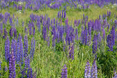 Lupine flowers in green grass — Stock Photo