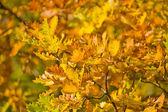 Golden autumn oak foliage — Stock Photo