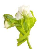 Isolated pea flower — Stock Photo