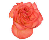 Orange rose flower — Foto Stock