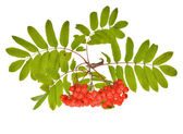 Red rowan berriers — Stock Photo