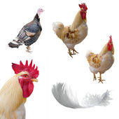 Roosters, turkey cock and feather — Stock Photo