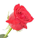 Isolated red rose — Stock Photo