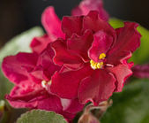 Red violet flower — Stock Photo
