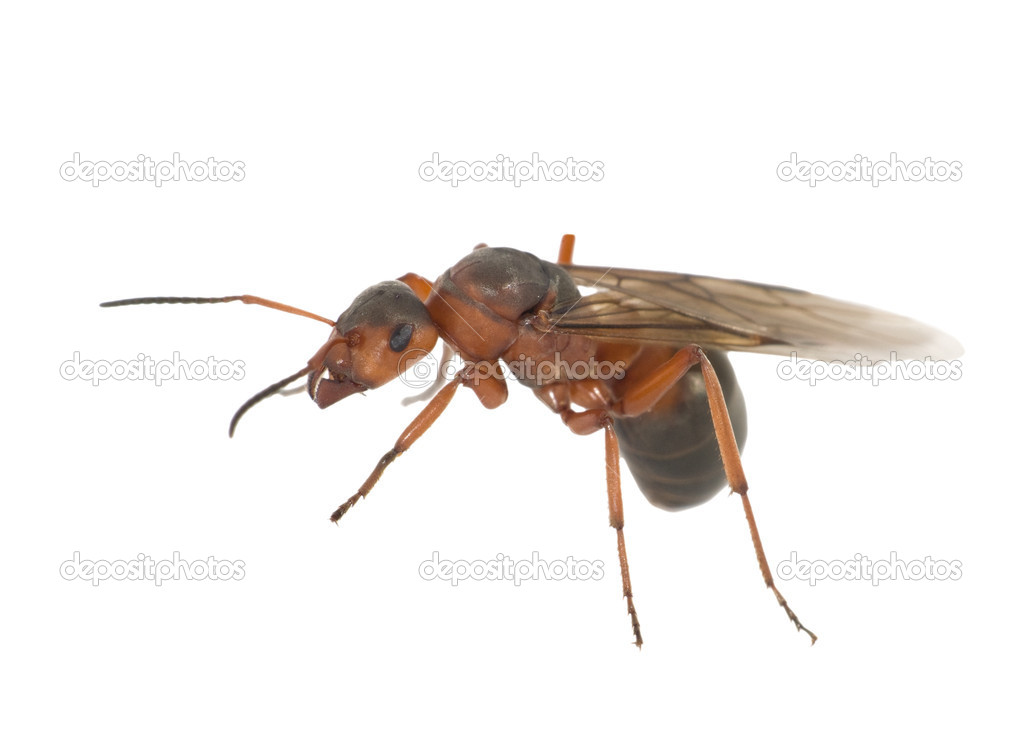 How to Identify a Queen Ant 7 Steps with Pictures  wikiHow