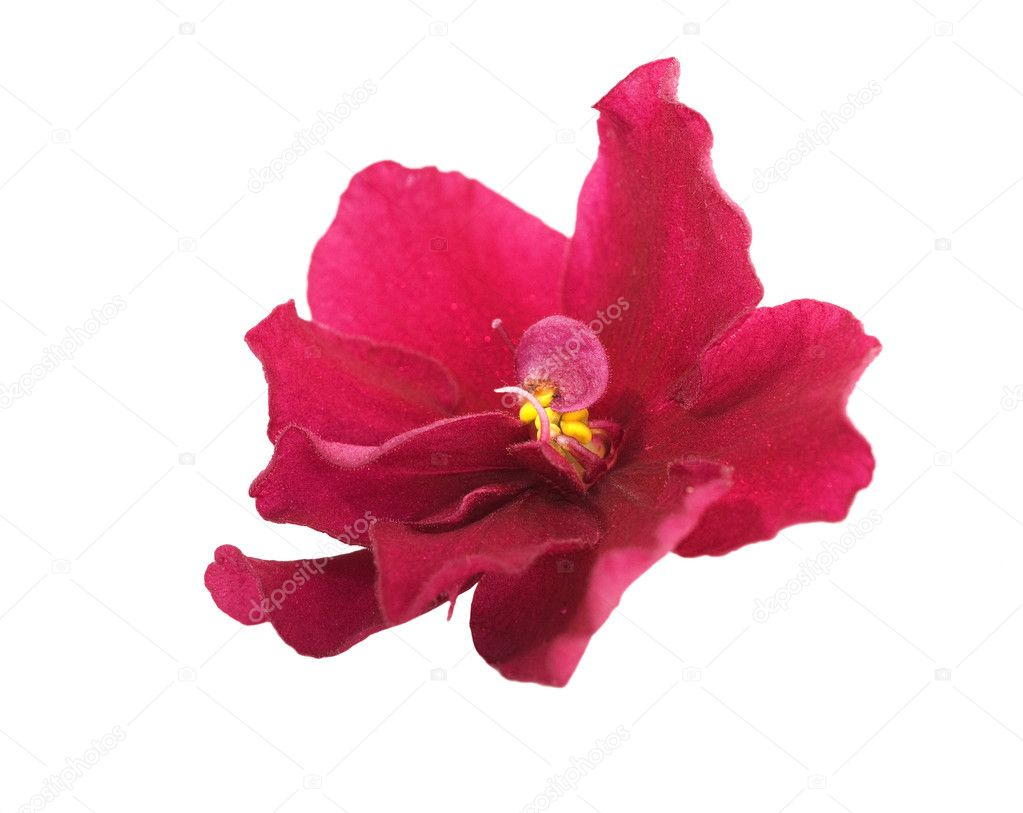 Single red violet flower — Stock Photo © Dr.PAS #6415476