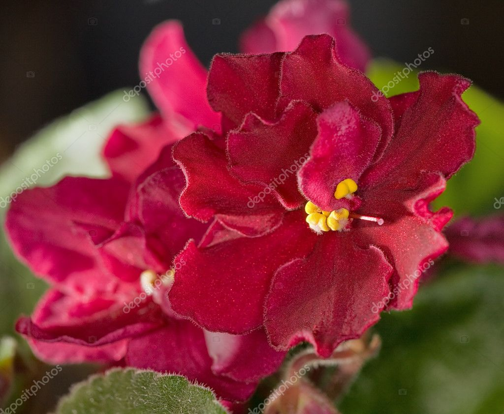 Red violet flower — Stock Photo © Dr.PAS #6415482