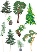 Conifers collection — Stock Vector