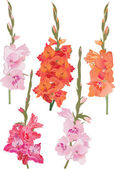 Five gladiolus branches set — Stock Vector