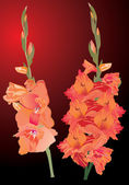 Orange gladiolus flowers on dark background — Stock Vector