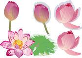 Rosa lotus-sammlung — Stockvektor