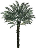 Single palm tree isolated on white — Stock Vector