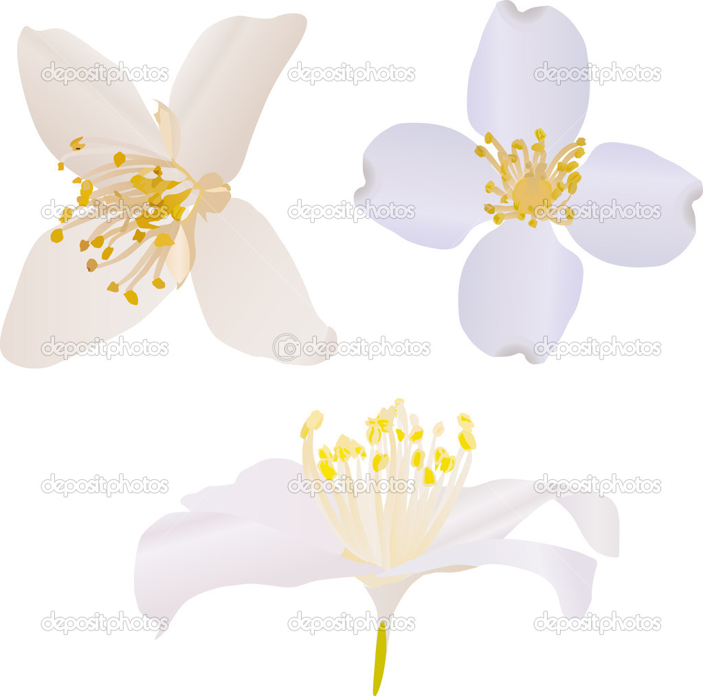Jasmine Flower Vector Free Download with three jasmine flowers