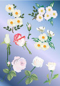 Set of white rose and brier flowers — Stock Vector