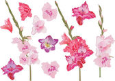Set of pink gladiolus flowers — Stock Vector