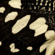 Black and white butterfly wing - Foto Stock