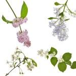 Lilac, jasmine and cherry blossom — Stock Photo #6650866