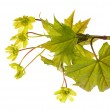 Maple branch with flowers on white — Stock Photo