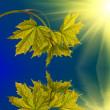 New maple branch with reflection — Stock Photo