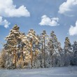 Stock Photo: Winter pine forest under white clouds