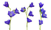 Set of blue campanula flowers — Stock Photo