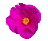 λουλούδι ροζ brier απομονωθεί σε λευκό — Φωτογραφία Αρχείου